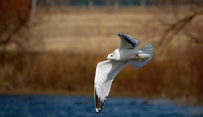 Larus Delawarensis Photograph - Airborne Seagull Series 1 by Roy Williams