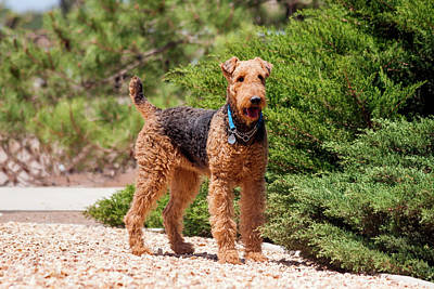 Airedale Terrier Standing By Juniper Print by Zandria Muench Beraldo