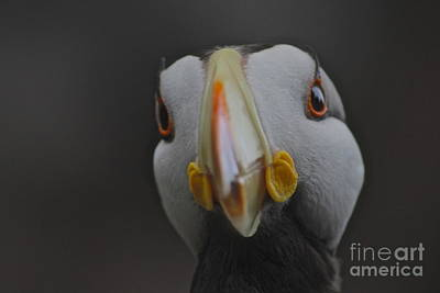 Puffin Digital Art - Alaska Puffin by Shiela  Mahaney