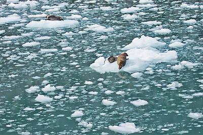 Seals Photograph - Alaska Seals by Aimee L Maher Photography and Art Visit ALMGallerydotcom