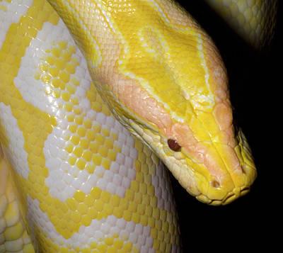 Burmese Python Photograph - Albino Burmese Python by Nigel Downer