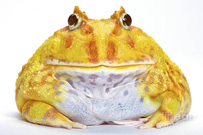Albino Chacoan Horned Frog Print by Michel Gunther