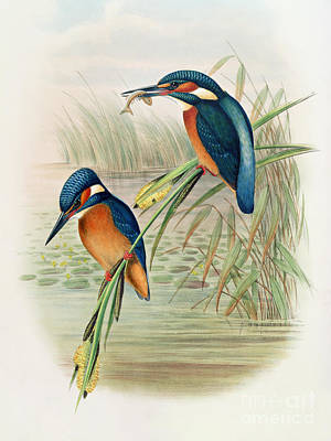 Reeds Drawing - Alcedo Ispida Plate From The Birds Of Great Britain By John Gould by John Gould William Hart