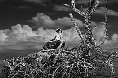 Alert Osprey On It's Nest Print by Randall Nyhof
