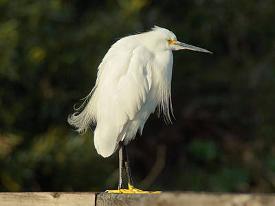 Pompous Photograph - Alfred The Snowy Egret by Lorenzo Williams