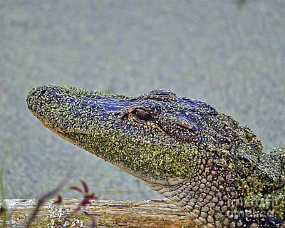 Moorhen Photograph - Algae Gator by Al Powell Photography USA
