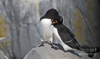 Razorbill Photograph - All You Need Is Love... by Nina Stavlund