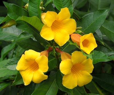 Flowers On Line Photograph - Allamanda by Ron Davidson