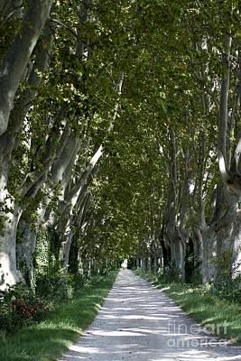 Plane Tree Photograph - Alley Of Plane Trees. Provence. France by Bernard Jaubert