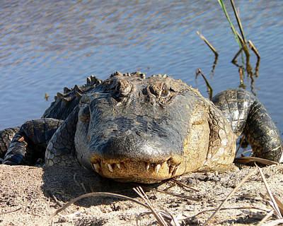 Alligator Approach Print by Al Powell Photography USA