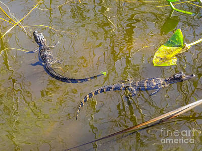 Florida Wildlife Photograph - Alligator Babies In The Swamp by Zina Stromberg
