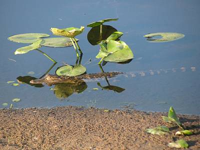Seascape Photograph - Alligator Comfortable Under The Leaves by Zina Stromberg
