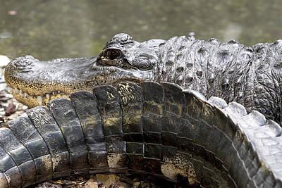Igor Baranov Photograph - Alligator by Igor Baranov