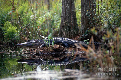 Alligator Photograph - Alligator In Okefenokee Swamp by William H. Mullins
