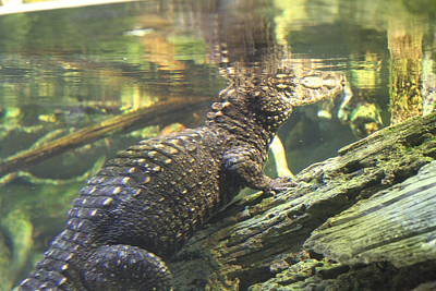 Alligator Photograph - Alligator - National Aquarium In Baltimore Md - 12123 by DC Photographer