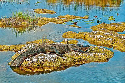 Alligator Near Anhinga Trail In Everglades National Park- Florida Original by Ruth Hager