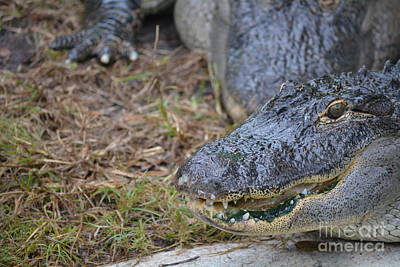 Alligator Close Up Print by Nicholas Outar