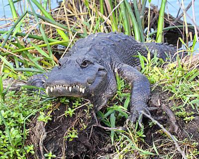 Alligator Overbite Print by Rudy Umans