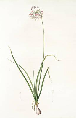 Onion Drawing - Allium Cernuum, Ail à Fleurs Pendantes, Nodding Wild Onion by Artokoloro
