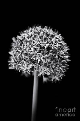 Allium Globemaster Print by Tim Gainey