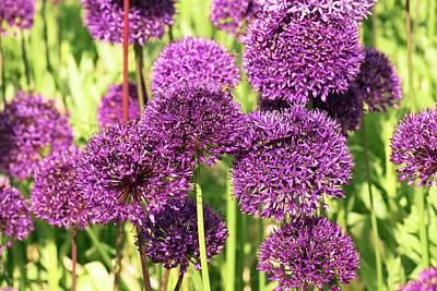 Allium Hollandicum Photograph - Allium Hollandicum 'purple Sensation' by Adrian Thomas