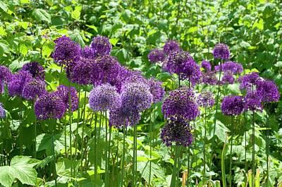 Allium Hollandicum 'purple Sensation' Print by Bjanka Kadic