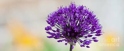 Allium Hollandicum Photograph - Allium Hollandicum Purple Sensation Panoramic by Tim Gainey