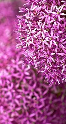Allium Hollandicum Photograph - Allium Hollandicum 'purple Sensation'  by Peter Jed