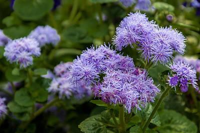 Allium Purple Sensation Print by Gene Sherrill