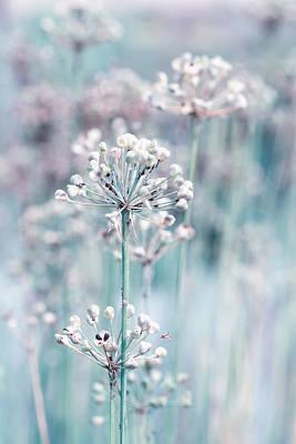 Fading Dream Photograph - Allium by Steve Stephenson