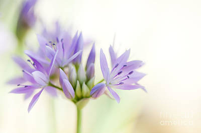 Eros Photograph - Allium Unifolium Eros by Tim Gainey