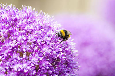 Allium With Bee Print by Chay Bewley