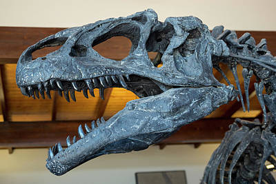 Dinosaur Photograph - Allosaurus Dinosaur Fossil Display by Jim West