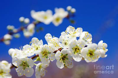 Almond Photograph - Almond Blossom by Carlos Caetano