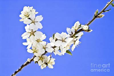 Flower Photograph - Almond Blossom by Heiko Koehrer-Wagner