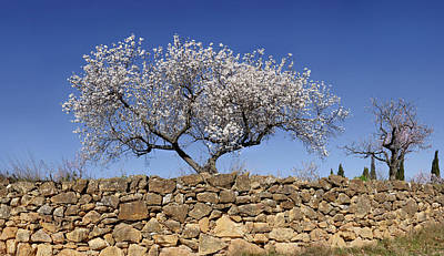 Almond Tree Photograph - Almond Blossom Near The Town by Panoramic Images