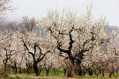 Almond Tree Photograph - Almond (prunus Amygdalus) Tree Orchard by Bob Gibbons