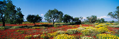 Almond Tree Photograph - Almond Trees In A Field, Poppy Meadow by Panoramic Images