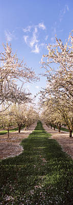 Almond Tree Photograph - Almond Trees In An Orchard, Central by Panoramic Images