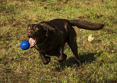 Chocolate Lab Photograph - Almost Got It by Jean Noren
