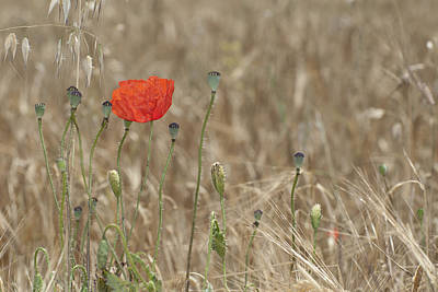 Abstracts Photograph - Alone Poppy by Guido Montanes Castillo
