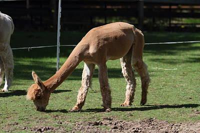 Alpaca - National Zoo - 01133 Print by DC Photographer
