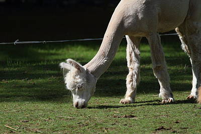 Alpaca - National Zoo - 01134 Print by DC Photographer