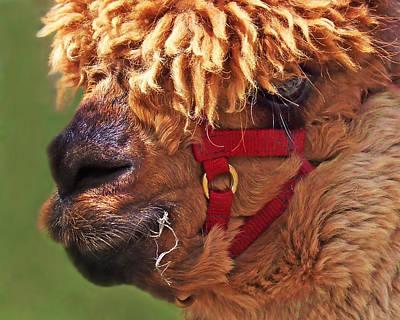 Attitude Photograph - Alpaca Punk by Terril Heilman