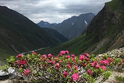 Alpenrose Flowers Print by Martin Rietze