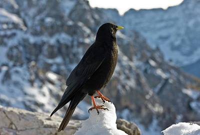 Dolomite Photograph - Alpine Chough by Bob Gibbons