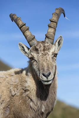 Alpine Ibex  In The Swiss Alps Print by Bernd Rohrschneider