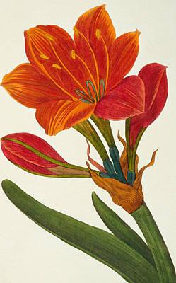 Amaryllis Purpurea Print by Pancrace Bessa