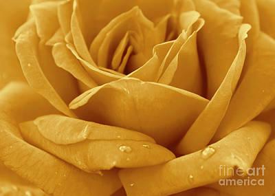 Rose Photograph - Amber Rose by Olga Hamilton