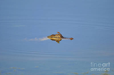 Photograph - Amberwing Atop Alligator by Al Powell Photography USA